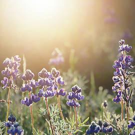 Lupine Sunshine by Emily Kent