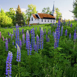 Lupines by Saint Matthew's Chapel in Sugar Hill, New Hampshire I by William Dickman
