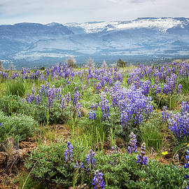 Lupins on South Steens Mountain by Belinda Greb