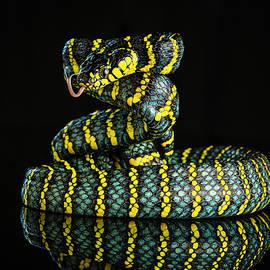 Luzon Mangrove Snake by Don Champlin