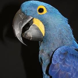 Macaw Profile Photo by John Telfer