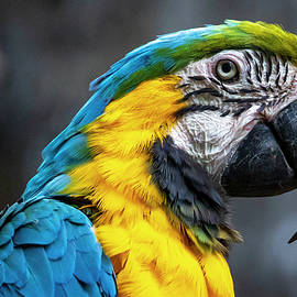 Macaw by Rob Quint