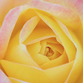 Macro of A Pink-Tinged Yellow Rose by Janice Noto