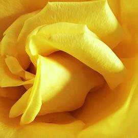 Macro Yellow Rose by Femina Photo Art By Maggie