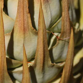 Macrozamia Spines by Michaela Perryman