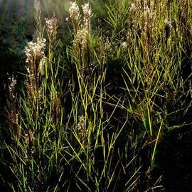 Magic Light in Grasses by Heidi Fickinger