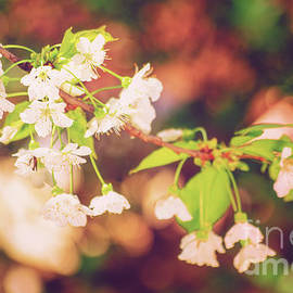 Magical bokeh close up of a blooming sweet cherry tree by Mendelex Photography