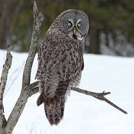 Magnificent Great Grey Owl by Marlin and Laura Hum