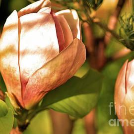Magnolia Blooms by Robert Tubesing