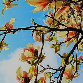 Magnolia blossom against blue sky by Loretta S