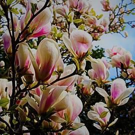 Magnolia flower wonder by Loretta S