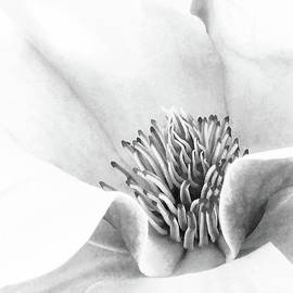 Magnolia High Key Black And White  by Sharon McConnell