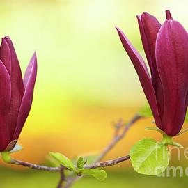 Magnolia liliflora Nigra by Facto Foto