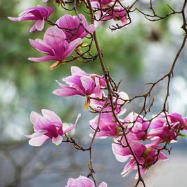 Magnolia Majesty by Mary Ann Artz