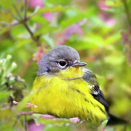 Magnolia Warbler Female by Christina Rollo