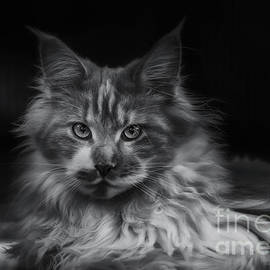 Maine Coon - Azie in BW by Flo Photography