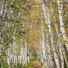 Maine White Birches in Autumn at Acadia National Park by Bill Swindaman