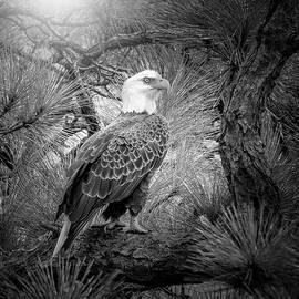 Majestic Bald Eagle by Mark Andrew Thomas