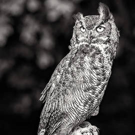 Majestic Great Horned Owl Black And White by Sharon McConnell