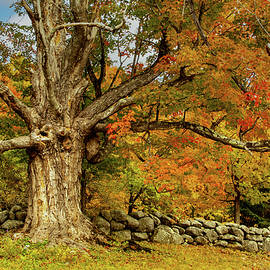 Majestic Maple Fall Colors by Jeff Folger