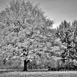 Majestic Maple Tree     Autumn        Black and White        Indiana by Rory Cubel