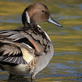 Majestic Pintail by David Cutts