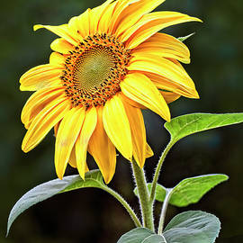 A Ray Of Sunshine  by Marcia Colelli