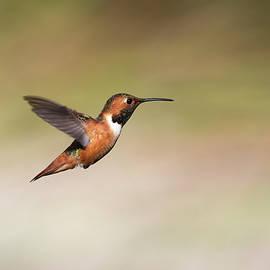 Male Allen's Hummingbird in Flight by Robert Goodell