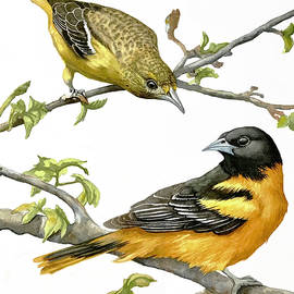 Male and Female Baltimore Orioles by Linda Apple