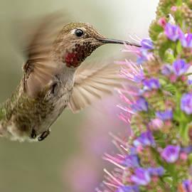 Male Anna's Hummingbird by MaryJane Sesto