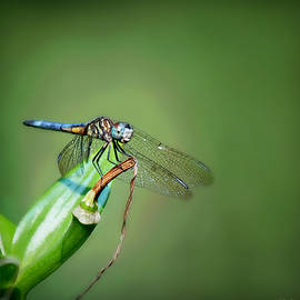 Male Blue Dasher Dragonfly Square  by Marilyn DeBlock