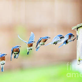 Male Bluebird Feeding Young as a Sequence of Shots by Scott Pellegrin