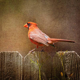 Male Cardinal by Joan Carroll