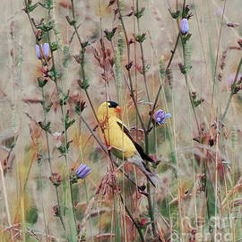 Male Goldfinch in The Wildflowers of Summer by Kerri Farley