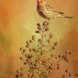 Male House Finch by Joan Carroll