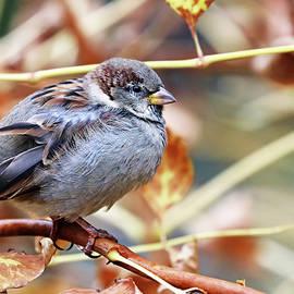 Male House Sparrow In Fall by Debbie Oppermann