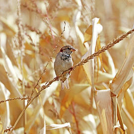 Male House Sparrow Perched On Corn Stalk by Debbie Oppermann