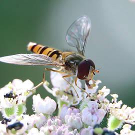 Male Marmalade Hoverfly, Episyrphus balteatus, pollinating Hogweed flowers  by Jackie Tweddle
