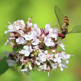 Male Marmalade Hoverfly, Episyrphus balteatus pollinating white flowers  by Jackie Tweddle