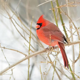 Male Northern Cardinal in Winter by Betty Denise