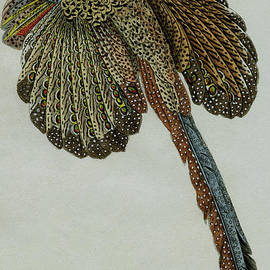 Male pheasant - scan of original 1830 coloured engraving for Buffon's Complete Works - 2 by Madame C Pillot