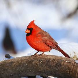 Male Red Northern Cardinal Winter by Marlin and Laura Hum
