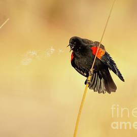 Male Red-winged Blackbird #3 by William Meeuwsen