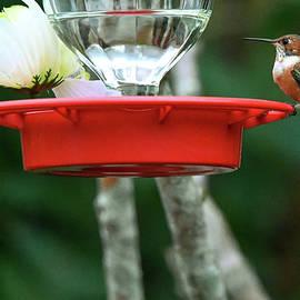 Male Rufous Hummingbird  by Katy L