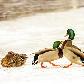 Mallard Duck Dance Tango by Patti Deters