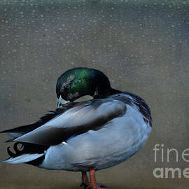 Mallard Duck - Drake by Yvonne Johnstone