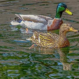 Mallard Duck Pair, Birds, Bird, Nature, Pond, Outdoors, by David Millenheft