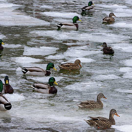Mallard Ducks by Ralph Staples