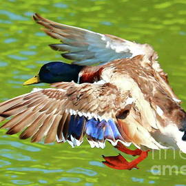 Mallard Landing by Atiqur Rahman