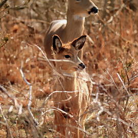 Mama deer and her fawn by Geraldine Scull